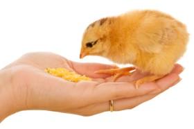 chick-feeding