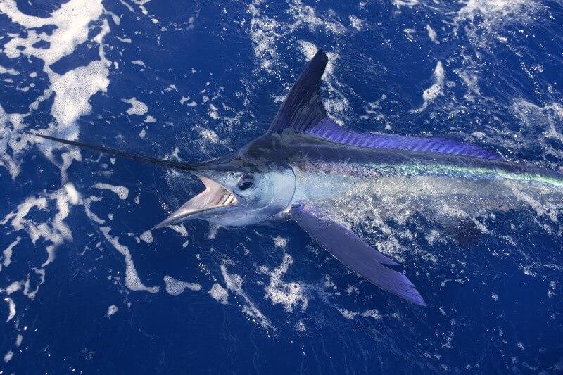 Marlin fisherman Gold Coast